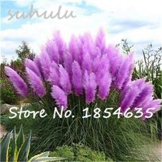 Hot Sale 200Pcs Rare Reed Seeds Flowers Grass Pampas Seeds Ornamental Plants Pampas Grass Seeds Natural Growth for Home Garden