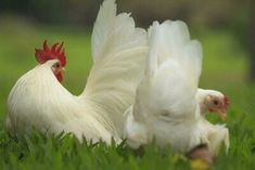 Leghorn Chickens, Bantam Chickens, Pet Chickens, Chickens Backyard, Best Egg Laying Chickens, Types Of Chickens, Nagasaki, Bantam Breeds, Small Chicken