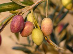 Olive harvest 2013 in Salento, Puglia
