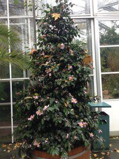 Camellia Christmas Tree! Alternative Christmas Tree, Camellia, Christmas Trees, Holiday Decor, Home Decor, Xmas Trees, Homemade Home Decor, Decoration Home, Room Decor