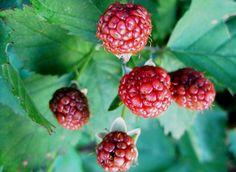 Boysenberry e Tayberry (Ibridi Lampone - Rovo) - Vivai Prandini