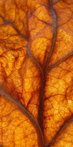 Orange | Arancio | Oranje | オレンジ | Colour | Texture | Style | Form | Amber colored leaf showing brown veins