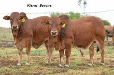 Boran. Farm Yard, Livestock, Genetics, Cattle, Country Living, Families, Cow, Animals, Animales