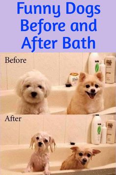Funny Dogs Before and After Bath Funny Animal Pictures, Funny Images, Funny Animals, After Bath, Life Memes, Funny Dogs, Lol, Pets, Humorous Pictures