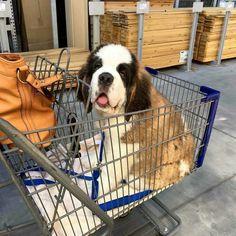 Shopping with Saint Bernard puppy
