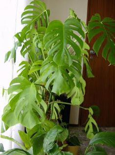 Mirian Decor: Plantas para Banheiro  Costela-de-adão  Bastante luz e regas regulares.