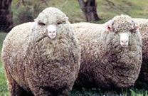Polwarth sheep are a dual-purpose, easy-care sheep that run successfully throughout Australia's sheep areas.  They have been exported to over 20 countries, particularly to South America, where there are now more Polwarths than in Australia.