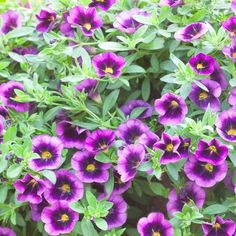 Superbells Grape Punch Calibrachoa.  Full sun.  Another great one for containers.Can't go wrong with these pretty flowers!