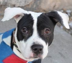 SAFE 3/9/15 --- Brooklyn Center  BUNNY - A1027759  MALE, BLACK / WHITE, AM PIT BULL TER MIX, 1 yr, 8 mos STRAY - STRAY WAIT, NO HOLD Reason STRAY  Intake condition EXAM REQ Intake Date 02/11/2015,  https://www.facebook.com/photo.php?fbid=963273733685506
