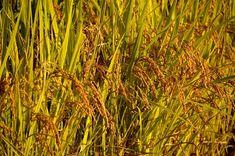 விவசாயம் பற்றிய கட்டுரை – திருந்திய நெல் சாகுபடியில் 7 முக்கிய வழிகள் Blog Images, Herbs, Herb, Medicinal Plants
