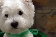 What a face! This site has some of the most beautiful photos of Westies ever! Westies, Westie Dog, Bichons, Chihuahua Dogs, Cute Puppies, Cute Dogs, Cute Babies, Beautiful Dogs, Animals Beautiful