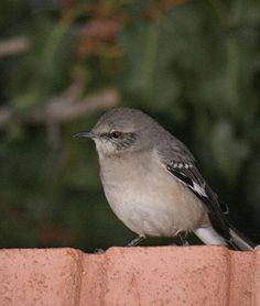 mocking bird Mocking Birds, Different Birds, See Picture, Beautiful Birds, Pet Birds, Arizona, Wildlife, Gallery, Arkansas