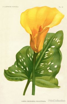 Yellow Canna Lily print.