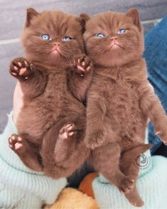 Brown Kitten, Havana Brown, Cattery, British Shorthair, Images Gif, Cat Lady, Beautiful Creatures, Pet Portraits, Cats Of Instagram