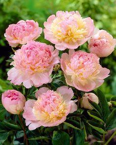 Herkullinen väri ja tuoksu. Raspberry, Koti, Flowers, Plants, Raspberries, Plant, Royal Icing Flowers, Flower, Florals