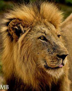 Lions of the Sabi Sands #sabisands #inyatisafari #safarivacation #wildlifephotography #AmazingAfrica