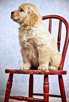 golden retriever puppy gorgeous dog adorable / cute , fury , friends on imgfave Baby Dogs, Pet Dogs, Dog Cat, Doggies, Weiner Dogs, Baby Animals, Funny Animals, Cute Animals, Wild Animals