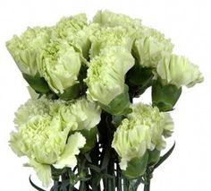 Carnation Green Fancy (Prado. Olivino) - http://yourflowers.us/?p=1388