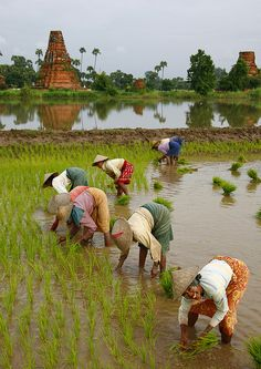 harvesting rice with the ancient city of Innwa, Myanmar, in the background ~  by Eric Lafforgue