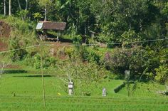 Ricefield Belimbing. Note small structure in the middle of field is an offering site to the goddess of the rice Dewi Sri.