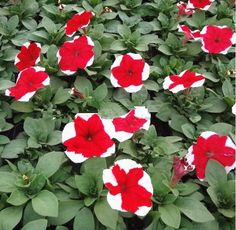 400 seeds/ bag rare petunia seeds mixed flower seeds Courtyard garden plant pot beautiful seed bonsai free shipping