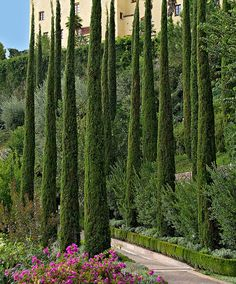 Italian Cypress are in the gardens already. Cupressus sempervirens 'Totem' - Its size is its importance; Only tall or so, whereas a regular Italian Cypress is tall. Back Gardens, Outdoor Gardens, Small Gardens, Italian Cypress Trees, Mediterranean Garden Design, Cupressus Sempervirens, Italian Garden, Columnar Trees, Garden Trees