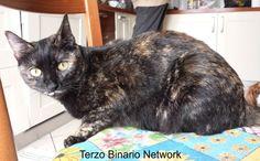 SPINEA (VENEZIA): SMARRITA SHERNI', GATTA TARTARUGATA http://www.terzobinarionetwork.com/2015/12/spinea-venezia-smarrita-sherni-gatta.html