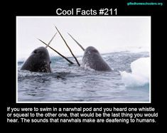 Cool facts #211  http://library.thinkquest.org/3500/Narwhal.html