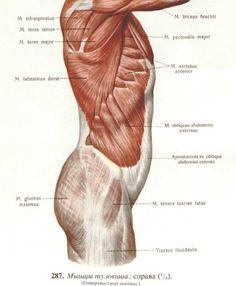 Musculus epicranius - Google 검색