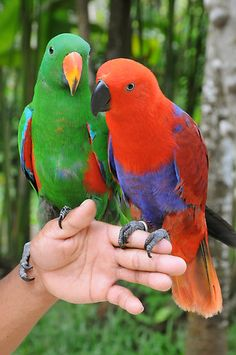 "Colorful Parrots ""One Two"" - (via RedBubble) Cute Birds, Pretty Birds, Beautiful Birds, Animals Beautiful, Parrot Toys, Parrot Bird, Colorful Parrots, Colorful Birds, Tropical Birds"