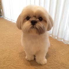 Know These Things If You Plan To Own A Cute Shih Tzu More More