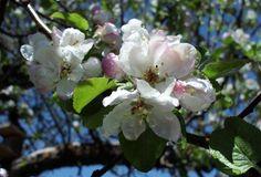 Spring Apple Blossom Photo By Ann Rainey