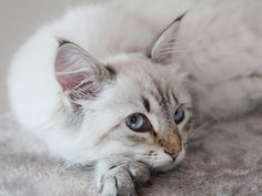 lynx point kitten   the most beautiful cat I have ever seen