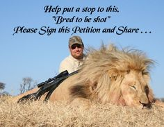 """Canned Hunting! In South Africa there are more than 160 breeding farms of big cats. Bred in captivity to be hunted by wealthy people who are ready to pay thousands of dollars to shoot a """"wild"""" animal. Hundreds of lions are being killed by trophy hunters in SA every year and many of them are being bred at different zoo's or volunteering programs. This is definitely the shame of South Africa! No animal should be kept in captivity to become a victim to a trophy hunter!"""