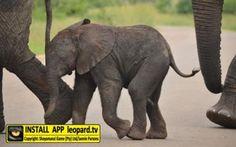 Home of Leopard.tv Wildlife Magazine, Shayamanzi wildlife ranch and wildlife music Big 5, Wilderness, Wildlife, Elephant, Bucket, In This Moment, Tv, Animals, Animales