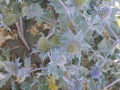 Blauwe zeedistel, plant van duin en zeereep Eryngium maritimum