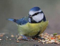 Was fressen Blaumeisen  Meisen sind Allesfresser, sie lieben Meisenknödel, Meisenringe, Sonnenblumenkerne, kleine Sämereien, Fettfuttermischungen und