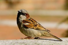 House Sparrow tops the charts in this year's Big Garden results. However, it still remains on the red list as sadly we've lost since Yes, it's a common sparrow but still delightful to watch. Little Birds, Love Birds, Beautiful Birds, House Sparrow, Sparrow Bird, Brown Sparrow, Parus Major, Bird House Kits, British Wildlife