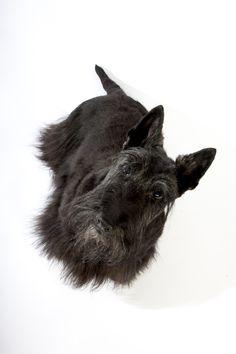 hond Scottish terrier Schotse terrier