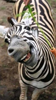 Smiling Animals, Happy Animals, Cute Baby Animals, Animals And Pets, Funny Animals, Scary Animals, Animals Images, Animals Sea, Zebras