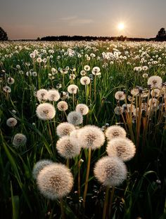A field of wishes… All of the possibilities stand before you at the break of each new day. ~Charlotte (PixieWinksFairyWhispers)