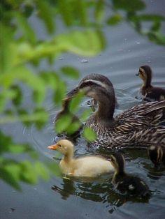 """Mama and babies"" taken at Veteran's Park, Klamath Falls, OR"