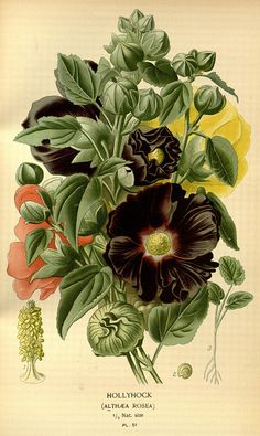 Hollyhock: Favourite flowers of garden and greenhouse,1896-97