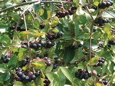 (Aronia melancarpa) Viking is a beautiful small shrub with a very flavorful fruit when used in juices, jams, and wines. Aronia is high in flavonoid/ anti-oxidants, as well as high in vitamins and minerals. The fall red foliage is incredibly striking. Aron