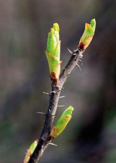 Gemmothérapie : les bourgeons de décembre - Feminin Bio