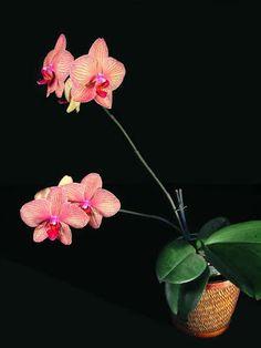 Il Calderone di Marinella: Orchidee Phalenopsis, consigli di coltivazione