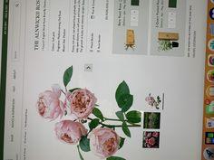 David Austin, Rose, Pink, Roses