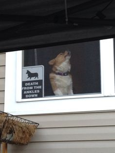 "Dog Training Bells Corgi in the window - but it's the sign ""DEATH From the Ankles Down"" that I love.Dog Training Bells Corgi in the window - but it's the sign ""DEATH From the Ankles Down"" that I love Cute Corgi, Corgi Dog, Cute Puppies, Dogs And Puppies, Dog Cat, Baby Animals, Funny Animals, Cute Animals, Corgi Pictures"