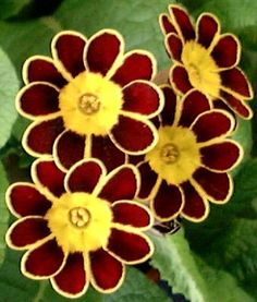 GOLD LACED POLYANTHUS AURICULA   ☺☺☺
