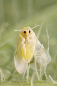 White fly...